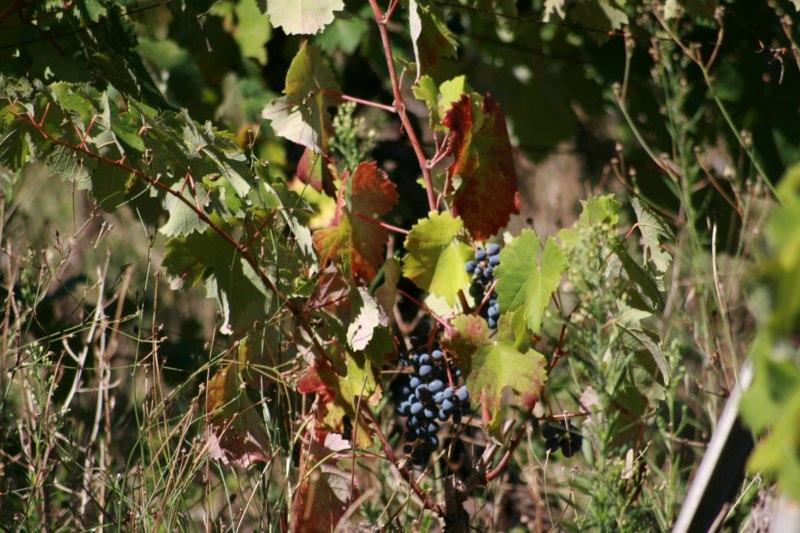 Experiencing Grape harvest